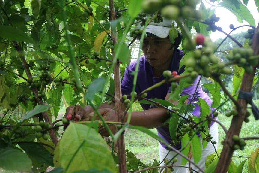Harvesting coffee beans in Pigcawayan, North Cotabato.