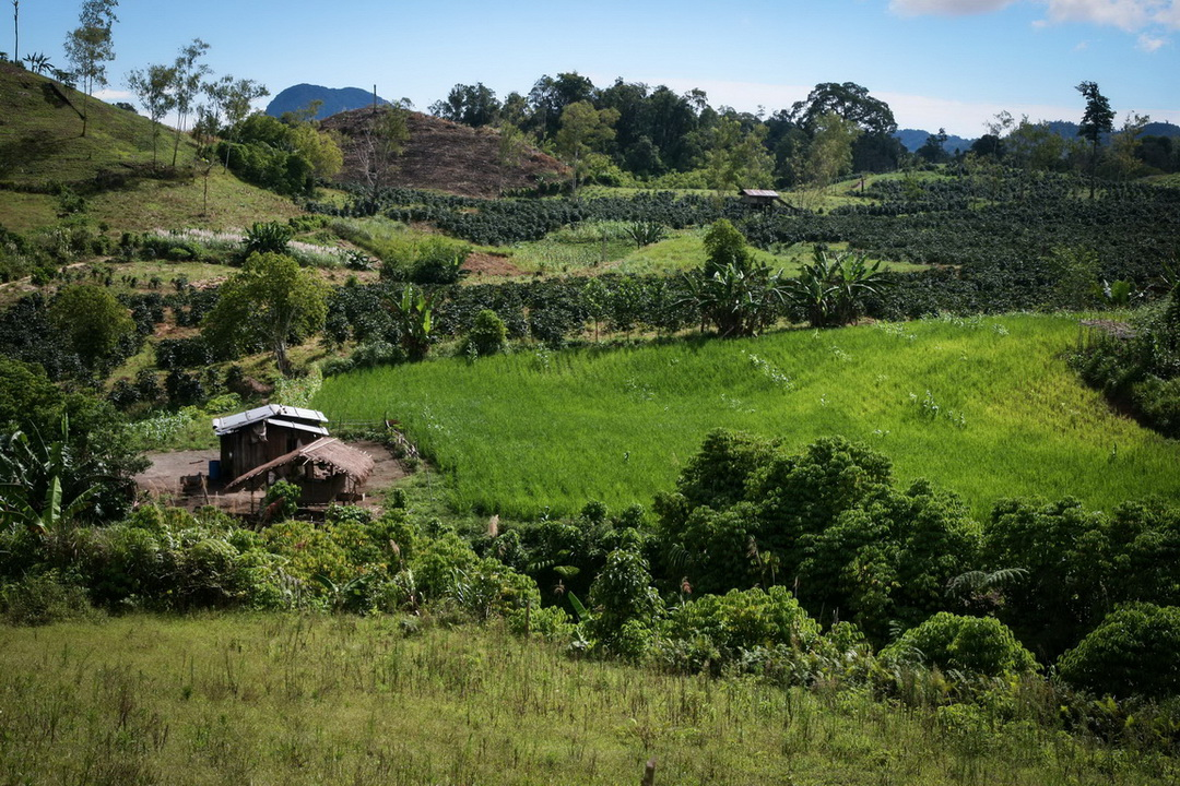 A portion of the Dawang Coffee Plantation that encroached into the ancestral domain of the T'bolis in Sitio Datal Bonlangon.